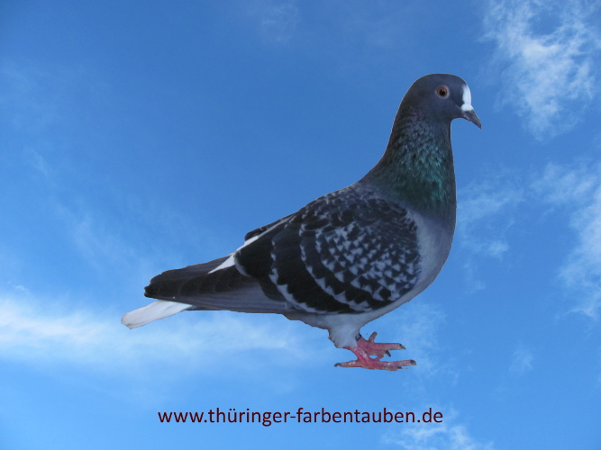 Thüringer Weißschwanz, blau gehämmert
