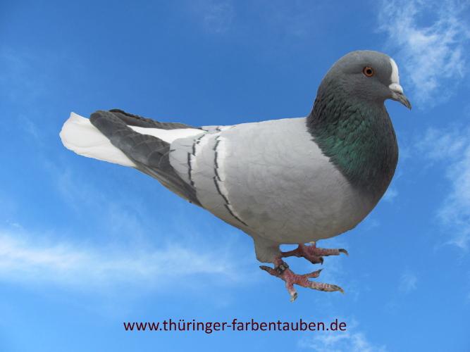 Thüringer Weißschwanz, blau mit weißen Binden