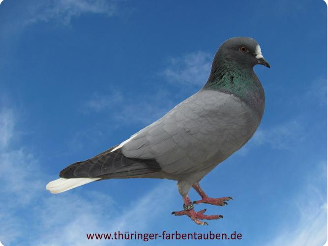 Thüringer Weißschwanz, blau ohne Binden