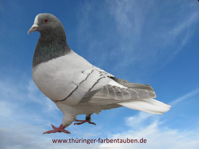 Thüringer Weißschwanz, blaufahl mit weißen Binden