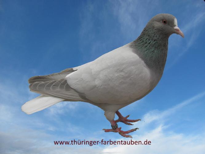 Thüringer Weißschwanz, blaufahl ohne Binden