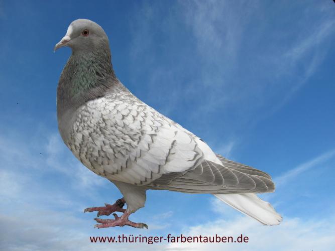 Thüringer Weißschwanz, blaufahl-weiss geschuppt