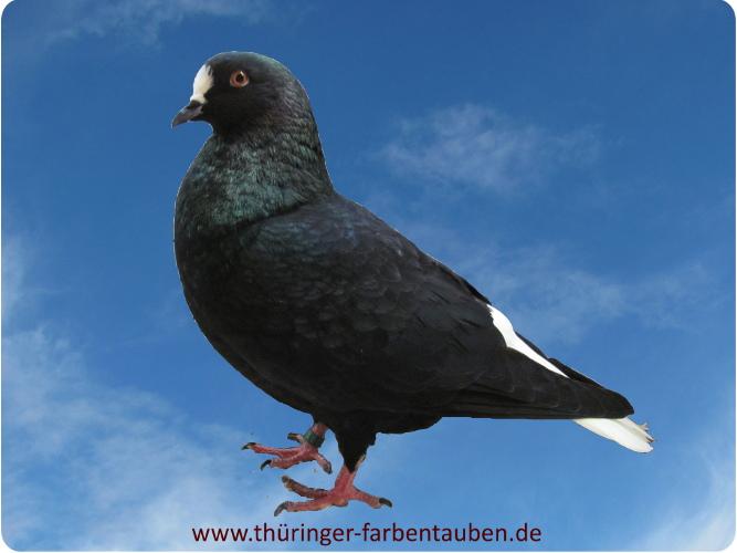 Thüringer Weißschwanz, schwarz