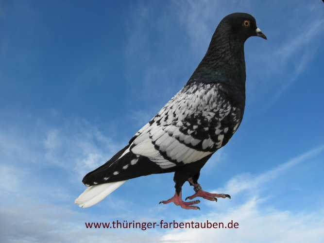 Thüringer Weißschwanz, schwarz-weiss geschuppt