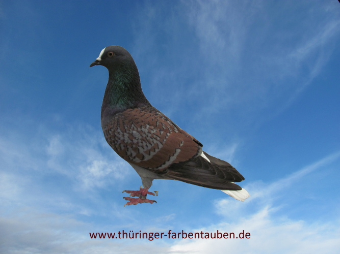 Thüringer Weißschwanz, blau- bronze geschuppt