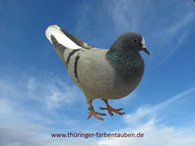 Thüringer Weißschwanz, blau mit schwarzen Binden