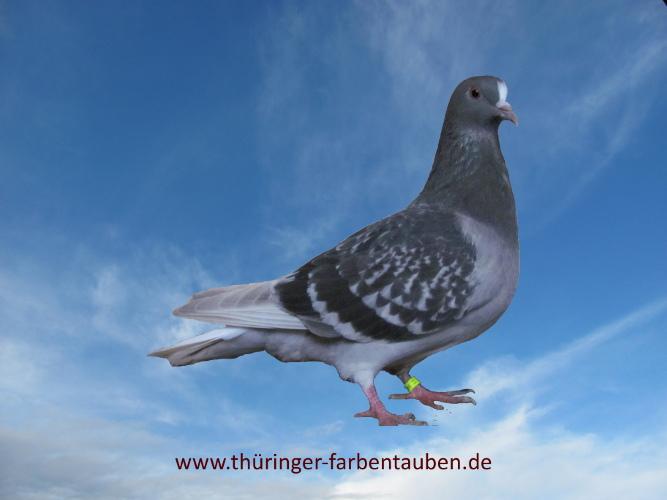 Thüringer Weißschwanz, blaufahl gehämmert