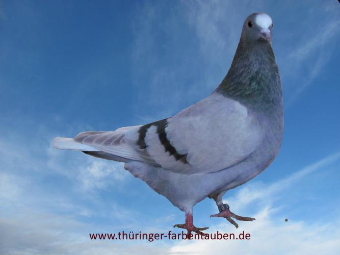 Thüringer Weißschwanz, blaufahl mit dunklen Binden
