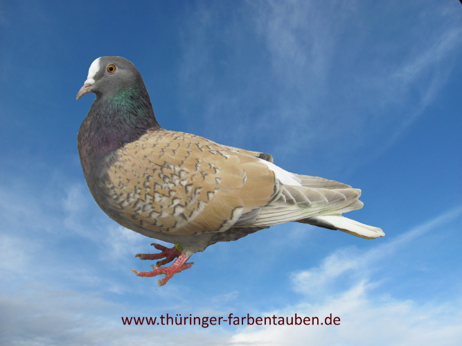 Thüringer Weißschwanz, blaufahl- sulfur geschuppt