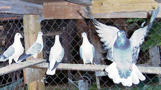Thüringer Weißschwanz und Flügeltauben
