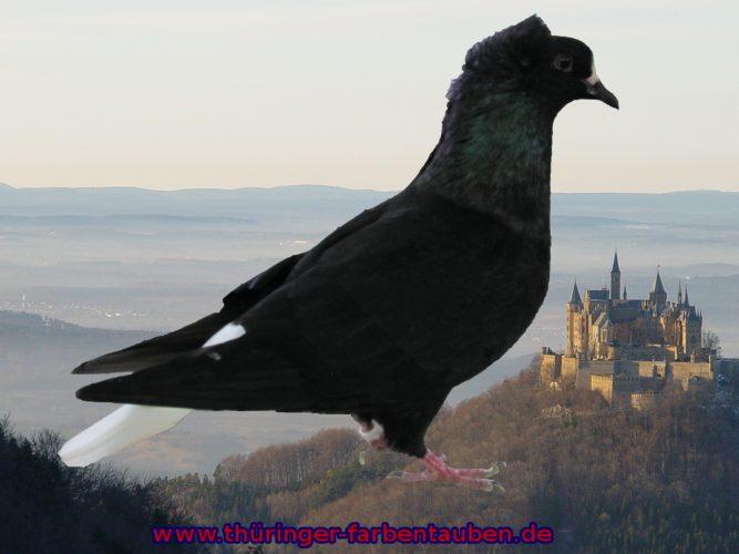 Süddeutscher Weißschwanz schwarz